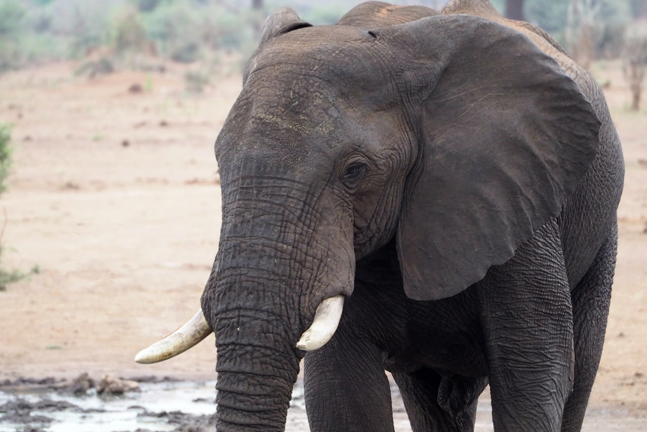 Elefant im Senyati Safari Camp