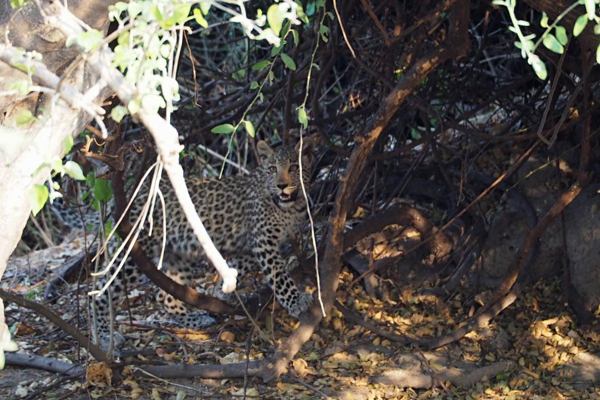 Leoparden Junges beim Spielen