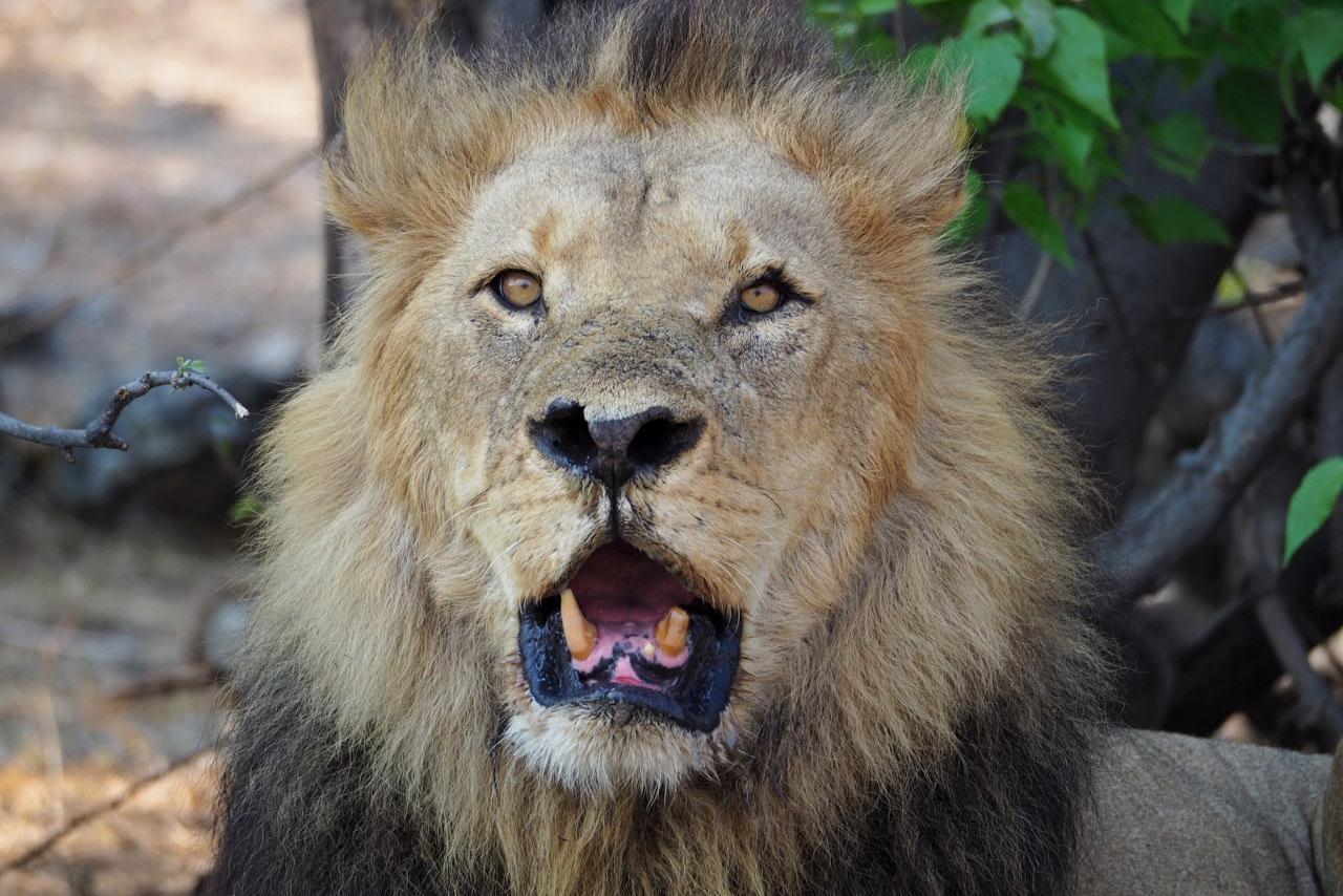 Löwen Männchen mit offenem Maul