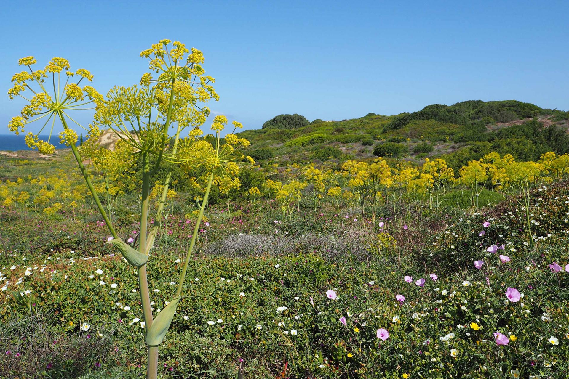 Praia do Malhao gelbe Blume