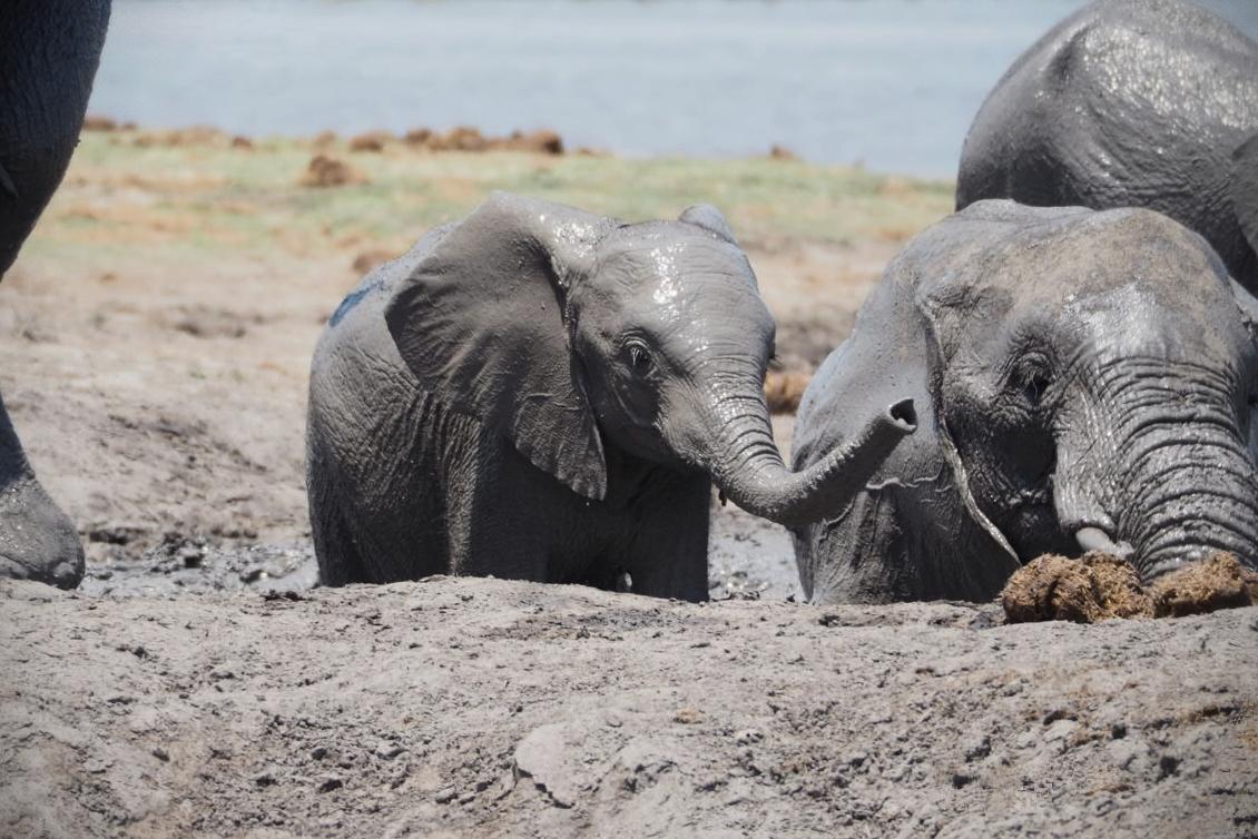 Babyelefant beim Schlammbad