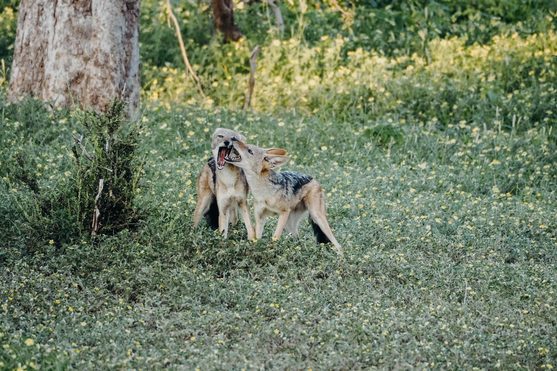 Blacked-backed jackals