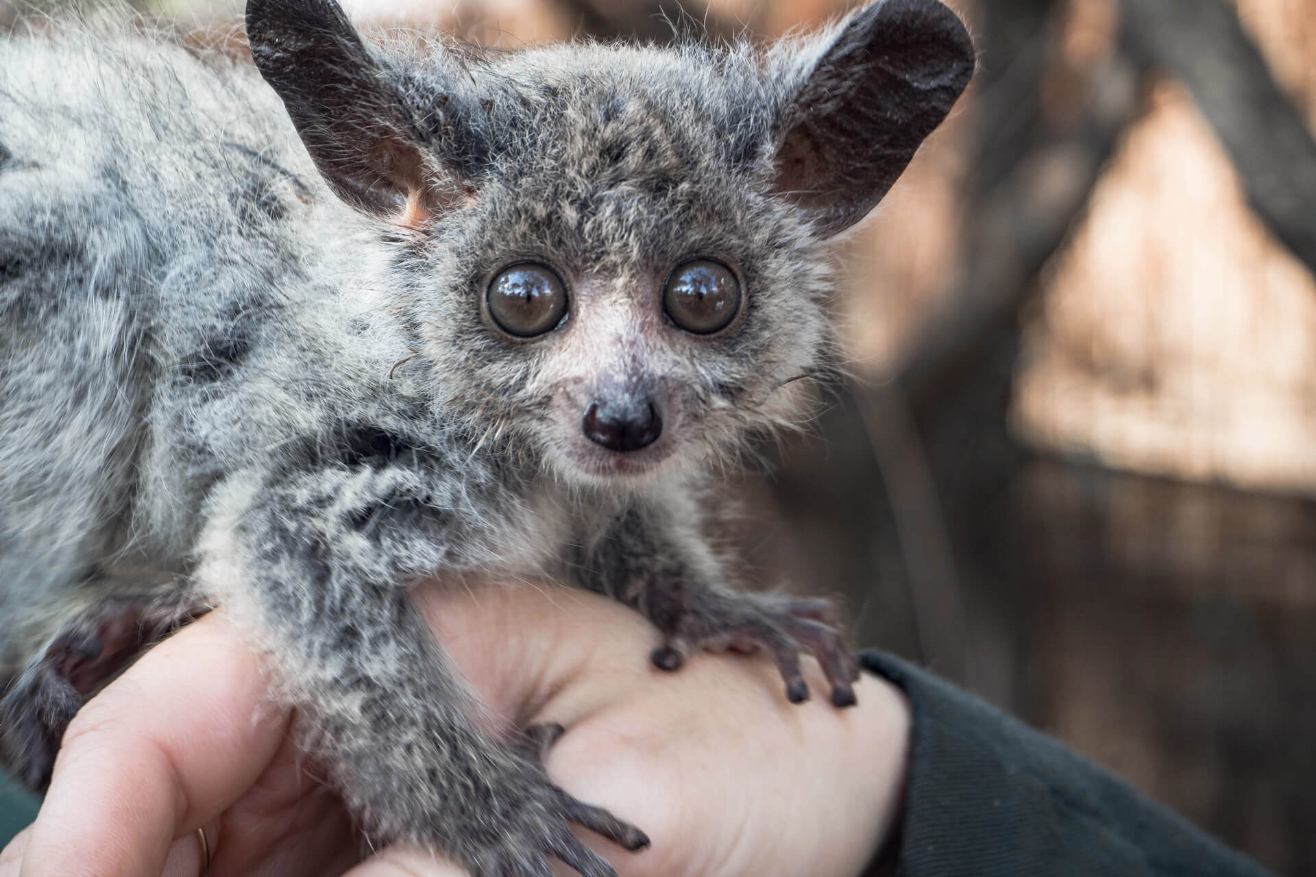 Bushbaby close-up