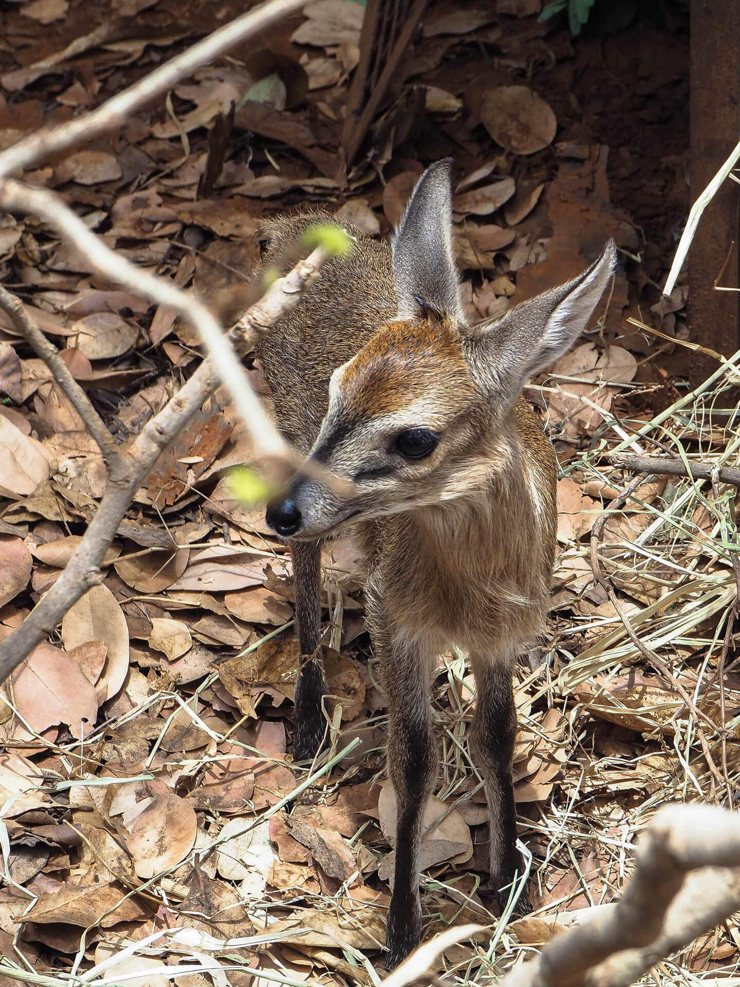Rescued duiker