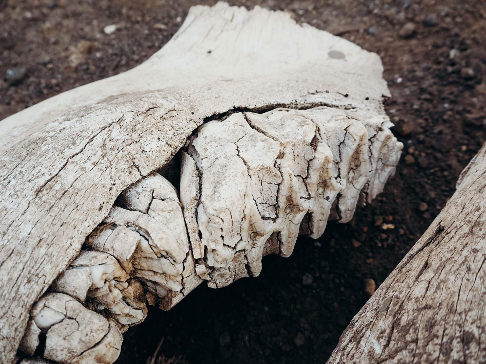 Elephant teeth