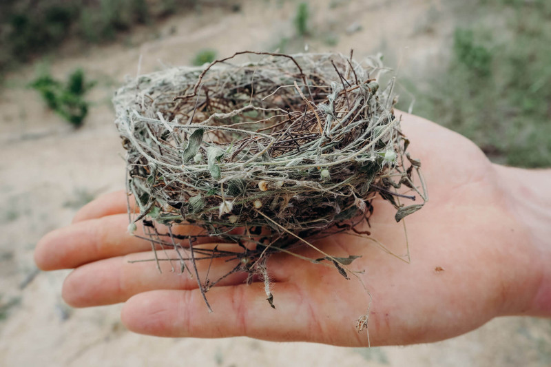 Nest of a Blue Waxbill