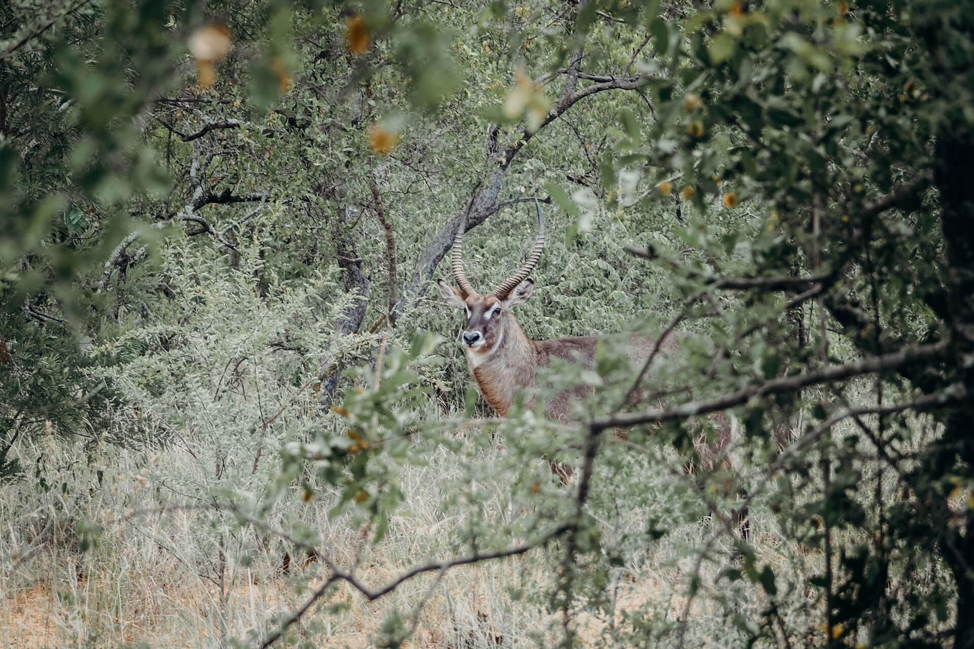 Waterbuck hiding